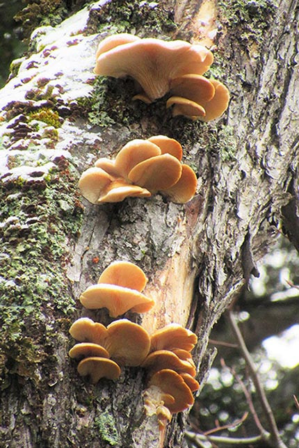 Fall Oyster Mushrooms  December 2015