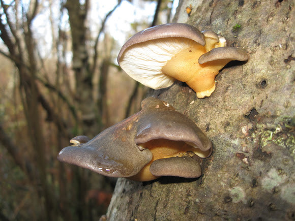 Fall Oyster Mushrooms  Late Fall Oyster Mushroom