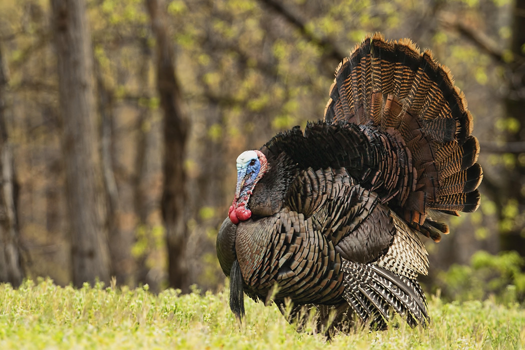 How Did Turkey Become The Thanksgiving Bird  Let s Talk Turkey