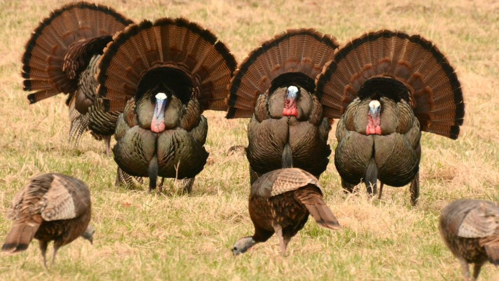 How Did Turkey Become The Thanksgiving Bird  Wild turkeys are tough old birds Here's why you should