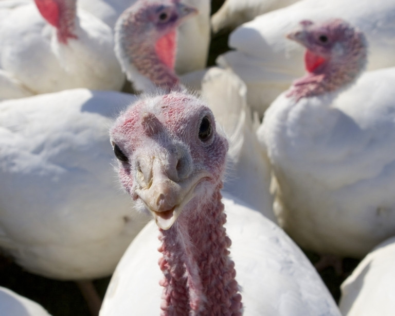 How Did Turkey Become The Thanksgiving Bird  Why Do We Eat Turkey on Thanksgiving