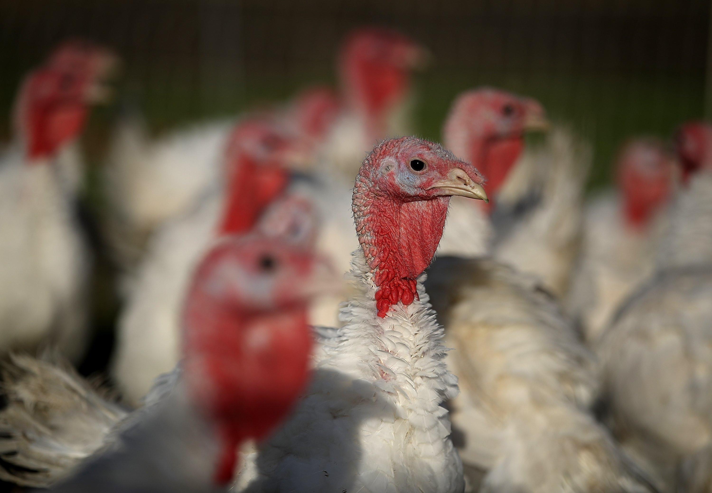 Smallest Turkey For Thanksgiving  Tinier Turkeys Are Trending for This Thanksgiving